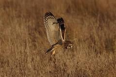 IMGP5316 Short-eared Owl, Burwell Fen,  December 2016 (bobchappell55) Tags: shortearedowl burwell fen bird birdofprey hunting flight flying wildlife wild nature naturereserve cambridgeshire