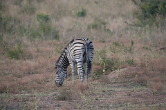 DSC_5143 (mylesm00re) Tags: africa buphaguserythrorhynchus burchellszebra equusquaggaburchellii limpopo redbilledoxpecker rooibekrenostervoel welgevondengamereserve za bird mhondorogamelodge sebra southafrica waterhole zebra