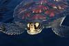 One More Shot Of A Young Green Sea Turtle (AlaskaFreezeFrame) Tags: sea turtle ocean lagoon green hawaii vacation canon 70200mm nature outdoor outdoors wildlife alaskafreezeframe swimming cheloniamydas greenseaturtle pacificgreenseaturtle maui water waves beautiful