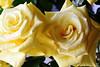 DSC_4213 Roses (PeaTJay) Tags: nikond750 reading lowerearley berkshire macro micro closeups gardens indoors nature flora fauna plants flowers bouquetofroses rose roses rosebuds
