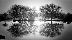 Tranquil Trees - Placid Pond (CMF1983) Tags: blackandwhite outdoor monochrome trees pond reflection newforest fritham nikon d3300 fog foggy mist misty