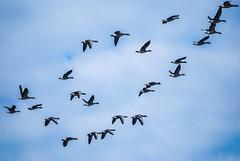 DSC_7169A1 (Montse Ponsa) Tags: aiguamolls aus aigua vegetacio ocell birds gi girona catalunya emporda