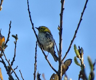 Black-throated Green Warbler--Setophaga virens