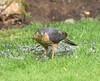 Sparrowhawk (Follow Me Follow You) Tags: stevenwaddinghamphotography bird nature prey raptor kill robin hunt eye garden eat