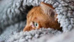 Sunday afternoon (plant.wendy) Tags: cat cute pet red orange sleep eyes light natural grey hair looking window lighting shadow shoot lucky shot photo canon 600d 50mm longing afternoon sleeping zzz warm cozy winter weather outside inside room bedroom bed blanket teddy
