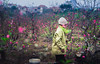 Hanoi, Vietnam (tuanduongtt8018) Tags: harvest spring cherry blossom hard working sony a7 carl zeiss 90mm work vietnam hanoi nature