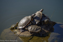 Turtle Family (Dimi Alexeev) Tags: turtles warming up stone rock pond heating