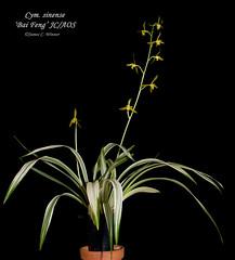 Cymbidium sinense 'Bai Feng'  JC/AOS (Orchidelique) Tags: nature plant flower orchid species cymbidium cym sinense baifeng jc aos ncjc gslaymaker