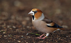 Hawfinch (oddie25) Tags: canon 1dx 600mmf4ii hawfinch finch forestofdean wildlife bird nature