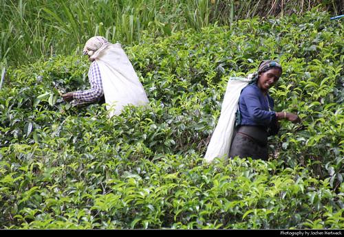 Tea picker, Pussellawa, Sri Lanka