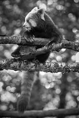 red panda and bokeh (rondoudou87) Tags: pentax k1 monochrome bokeh blanc blackwhite black nature natur noiretblanc noir wildlife wild white parc zoo reynou smcpda300mmf40edifsdm sauvage