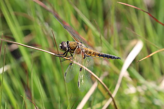 IMG_5569 Four-spotted Chaser