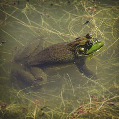 169 • 365 • IV {explore} (Randomographer) Tags: wild sun green wet water animal pond relaxing amphibian fresh h2o frog explore marsh aquatic float 169 tadpole anura otw project365 frogga