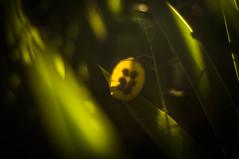 Monnaie du Pape (GLVF) Tags: light summer plant colour green art nature plante lumire sony seeds depthoffield frame transparent couleur transparence graines translucid ardche nex translucide lunariaannua monnaiedupape lunaireannuelle slrmagic