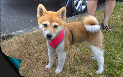 Cute Small Dog (swong95765) Tags: dog cute tail small curl breed bodyleash