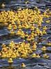 Who's talking about minions? (EvelienNL) Tags: holland water netherlands dutch yellow race toy duck ducks floating rubber plastic ducky rubberduck derby duckies rubberducks nijkerk badeend badeendje rubberduckrace badeendjes