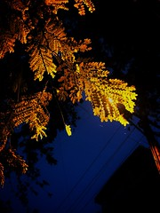 My true colour may not be gold. But I am more precious than you know. (Akshay Srikar) Tags: blue light shadow colour tree nature leaves yellow night dark gold golden evening branch pattern glow dusk bangalore halo shade gloaming iphone 5s bengaluru iphoneography cooketown