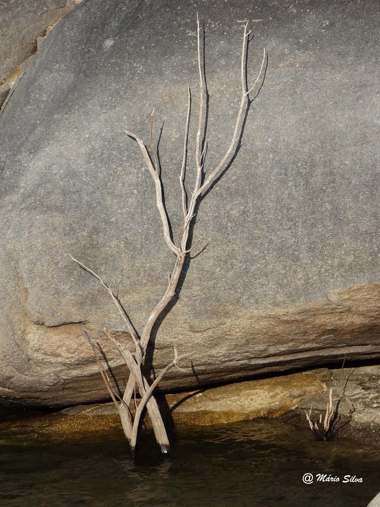 """Águas Frias (Chaves) - ... um ramo seco """"colado"""" à fraga ( Barragem das Nogueirinhas)"""