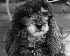 28/52 Skippy in B & W (Bella Lisa) Tags: miniature poodle 52weeksfordogs 52wfd