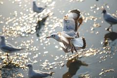 Seagulls of the golden dusk (denverandkaiju) Tags: bird canon bokeh dusk seagull 6d bangpu