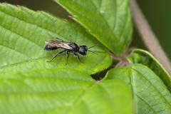 Pemphredon lugubris (Will_wildlife) Tags: wasp mournful mournfulwasp pemphredonlugubris