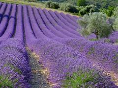 L'été en pente douce ***--+°°° (Titole) Tags: provence lavande lavender olivier titole nicolefaton valensole friendlychallenges herowinner thechallengefactory storybookwinner challengeyouwinner 15challengeswinner