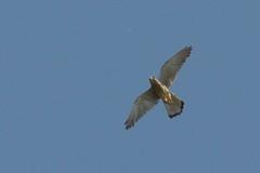 DSC_7067 Boomvalk : Faucon hobereau : Falco subbuteo : Baumfalke : Northern Hobby