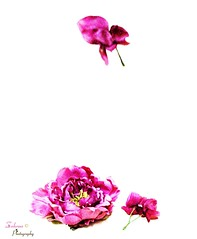 Falling Flower () Tags: pink flowers roses flower fall rose canon flickr purple  fastshutter  darkpink      fallingflower