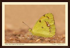 Dakhan Yellow Orange-tip - Ixias pyrene sesia (Ishmaanay) Tags: yellow orangetip pyrene ixias sesia dakhan