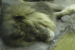King of beastZZZZZZZZ (Distraction Limited) Tags: arizona cats tucson lions bigcats zoos panthera reidpark pantheraleo reidparkzoo thelionsleepstonight genereidpark reidparkzoo20150712