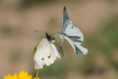 Small White Butterfly (Study 2) (jgsnow) Tags: butterfly ngc npc mating smallwhite