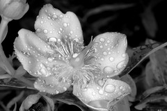 Underworld (aldenchadwick) Tags: blackandwhite flower raindrops