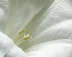 Moon Flower (corkemup52) Tags: flowers moon flower outdoors nebraska beatrice beatricenebraska nikon18200mm nikond7000