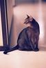Lizzie on film (DizzieMizzieLizzie) Tags: abyssinian aby beautiful wonderful lizzie dizziemizzielizzie portrait cat chats feline gato gatto katt katze katzen kot meow pisica film 35mm nikonf75 nikkor afs8518g fujicolorsuperia1600