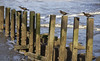 Young cormorants (Gill Stafford) Tags: gillstafford gillys image photograph wales northwales conwy abergele pensarn llanddulas breakers groyne sea coast wild coastalpathway welsh birds cormorants chicks young
