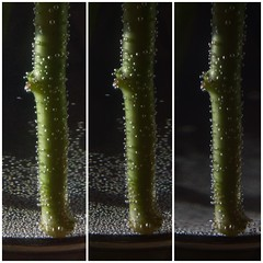 Experimentation... (Caroline Oades) Tags: experiment air water 358366 23122016 stems vase experimentation effects iso shutterspeed aperture