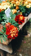 Flores (sapienza.nat) Tags: camposdojordão macro fotografiaemmacro fotografiacommacro fotografia flor de flores fotografiadeflores amarelo vede verde vermelho cores vibrante cobresvibrantes