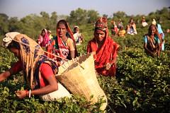 C1_2016-161389 (HamimCHOWDHURY  [Read my profile before you fol) Tags: teagardenportrait girlnature tealeaf workingwomen