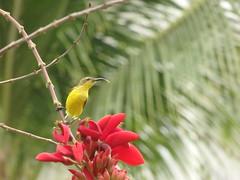 Yellow-bellied Sunbird (yukohayashi2) Tags: bird searesort cebu shangrila セブ yellowbelliedsunbird sunbird キハラタイヨウチョウ
