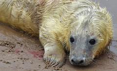 NEW BORN By Angela Wilson (angelawilson2222) Tags: grey seal pup newborn baby young donna nook lincolnshire wild wildlife nature sealife animal creature mammal birth sea angela wilson nikon