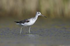 Greenshank (J J McHale) Tags: bird wader tringanebularia greenshank