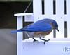 Bluebird (carpingdiem) Tags: feeder bluebird birds winter indianapolis