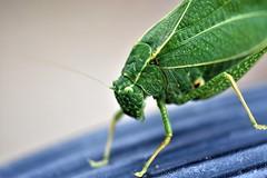 Katydid (mattpitchford) Tags: katydid oldglass oldlenses bugs insects macro