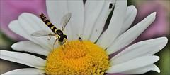 "1aaaollllll.ll (2xfav.1xL)-zw.vliegje.margriet-22-6-16-nw.vennep.wandelbos-haarlemmerm-(n.D90-105m VR-r.f)-7x (""HansFfloraFauna"" - j fidom) Tags: hoverfly insect margriet"