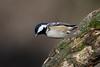 _F0A7596.jpg (Kico Lopez) Tags: carbonerogarrapinos galicia lugo miño parusater spain aves birds rio
