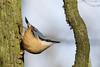 Nuthatch (Swell Wood) (Steve Balcombe) Tags: bird nuthatch sitta europaea woodland carparkbirds rspb swellwood somerset uk