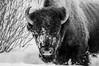 Yellowstone dec 2016 (Andrew (westpalmdoc1)) Tags: bisonblackandwhite yellowstone