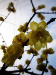 ロウバイ (ebi-katsu) Tags: canon ixy 930is ロウバイ 蠟梅 蝋梅 wintersweet plant
