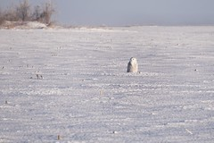 Hiding in plain sight (beyondhue) Tags: snowy owl winter snow queen farm field ottawa beyondhue raptor sitting ontario bird birdwatching sunny morning