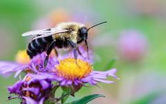 Bumblebee Side View (imageClear) Tags: bumblebee nature feeding beauty sheboygan wisconsin aperture nikon d500 105mm macro imageclear flickr photostream
